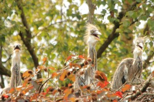 50c Cosgrove Grey Heron Chicks